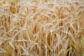Wheat Fiber