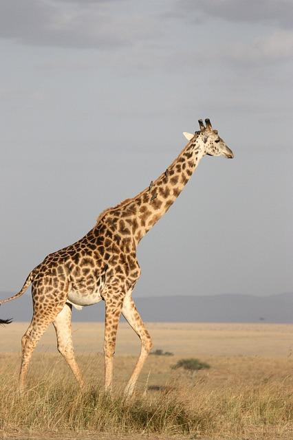 giraffe-171318_640