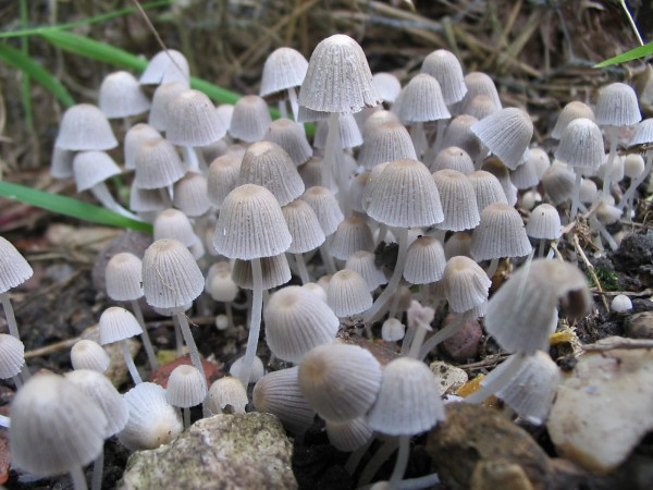 Study shows that glucose management can be achieved by mushroom extracts